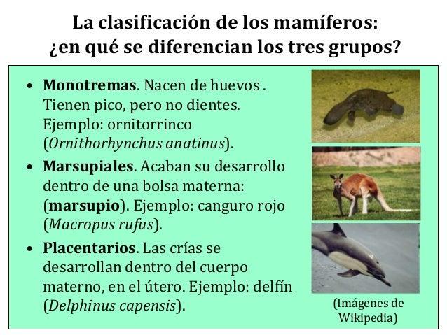 Ornitorrinco wikipedia reproduccion asexual de las plantas