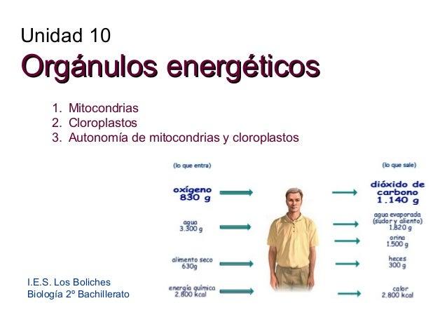 Unidad 10  Orgánulos energéticos 1. Mitocondrias 2. Cloroplastos 3. Autonomía de mitocondrias y cloroplastos  I.E.S. Los B...