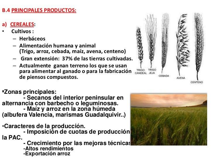 B.4 PRINCIPALES PRODUCTOS:a) CEREALES:• Cultivos :    – Herbáceos    – Alimentación humana y animal      (Trigo, arroz, ce...