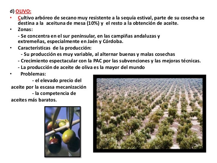 d) OLIVO:• Cultivo arbóreo de secano muy resistente a la sequía estival, parte de su cosecha se    destina a la aceituna d...