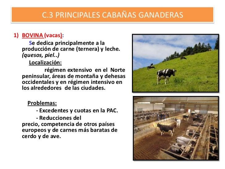 C.3 PRINCIPALES CABAÑAS GANADERAS1) BOVINA (vacas):      Se dedica principalmente a la   producción de carne (ternera) y l...