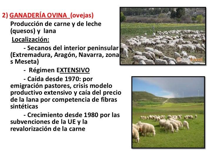 2) GANADERÍA OVINA (ovejas)   Producción de carne y de leche   (quesos) y lana    Localización:        - Secanos del inter...