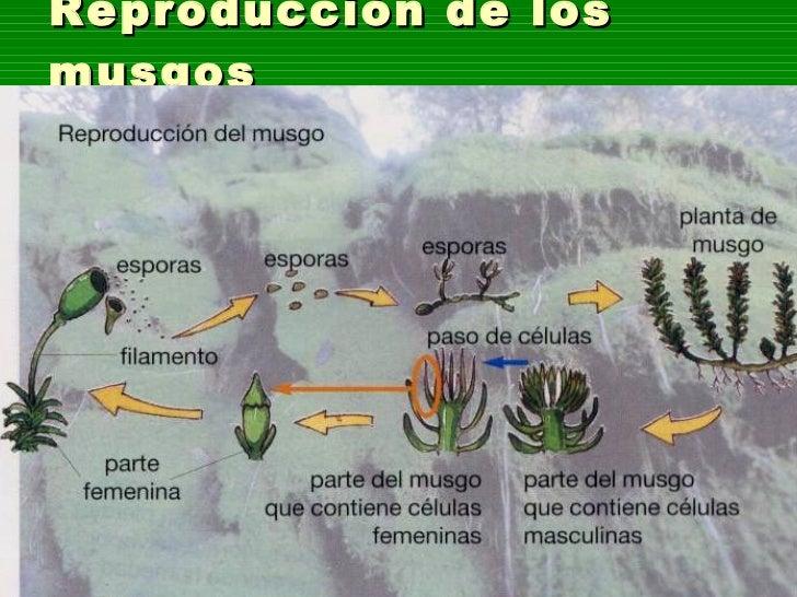 Musgo reproduccion asexual de plantas