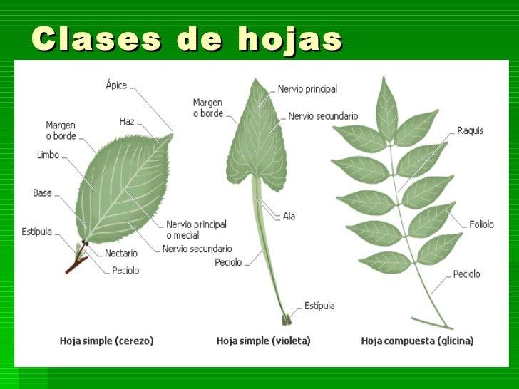 Tema 10 las plantas for Como se llaman los arboles que no pierden sus hojas