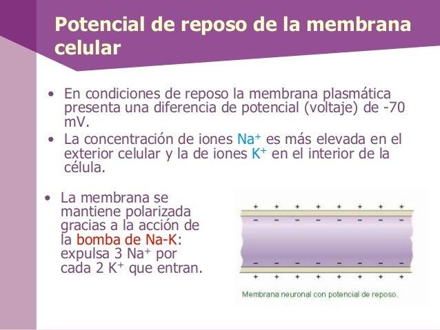 Potencial de reposo de la membranacelular• En condiciones de reposo la membrana plasmáticapresenta una diferencia de poten...