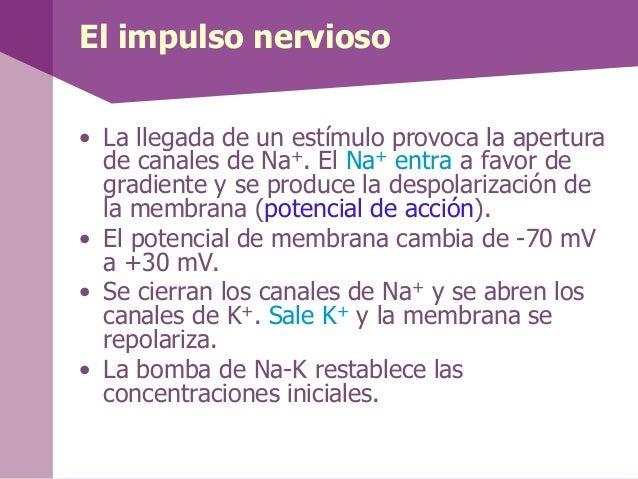 El impulso nervioso• La llegada de un estímulo provoca la aperturade canales de Na+. El Na+ entra a favor degradiente y se...