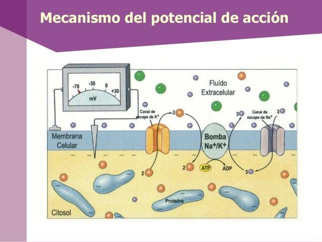 Mecanismo del potencial de acción