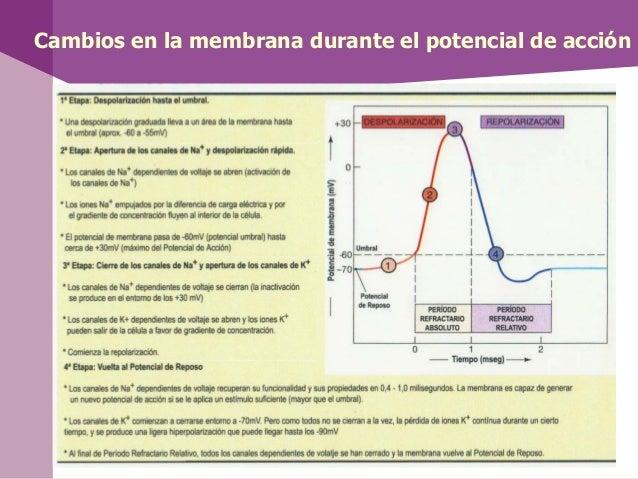 Cambios en la membrana durante el potencial de acción