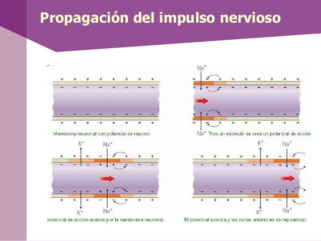Propagación del impulso nervioso
