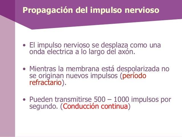• El impulso nervioso se desplaza como unaonda electrica a lo largo del axón.• Mientras la membrana está despolarizada nos...