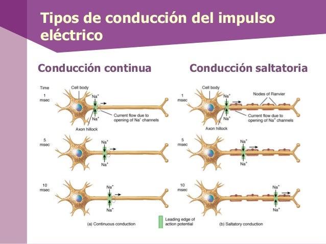 Tipos de conducción del impulsoeléctricoConducción continua Conducción saltatoria