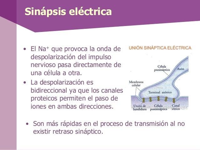 Sinápsis eléctrica• El Na+ que provoca la onda dedespolarización del impulsonervioso pasa directamente deuna célula a otra...