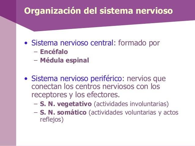 Organización del sistema nervioso• Sistema nervioso central: formado por– Encéfalo– Médula espinal• Sistema nervioso perif...