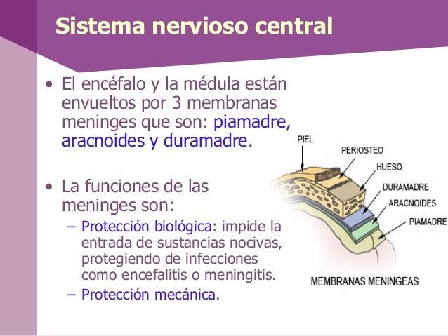 Sistema nervioso central• El encéfalo y la médula estánenvueltos por 3 membranasmeninges que son: piamadre,aracnoides y du...