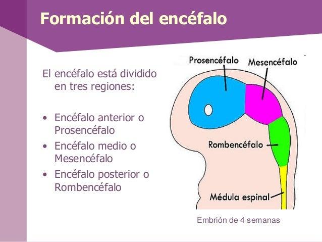 El encéfalo está divididoen tres regiones:• Encéfalo anterior oProsencéfalo• Encéfalo medio oMesencéfalo• Encéfalo posteri...