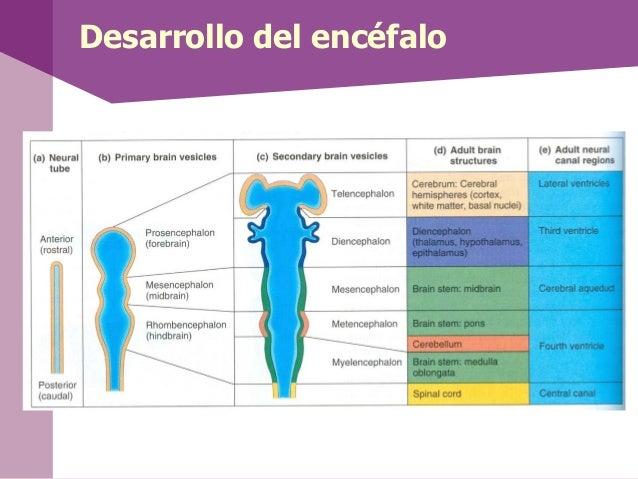 Desarrollo del encéfalo