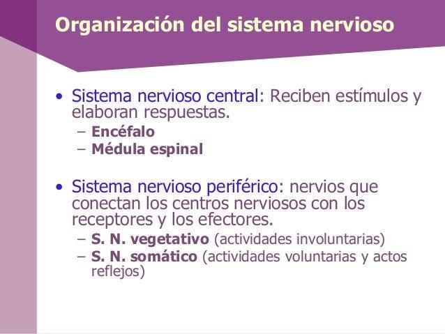 Organización del sistema nervioso• Sistema nervioso central: Reciben estímulos yelaboran respuestas.– Encéfalo– Médula esp...