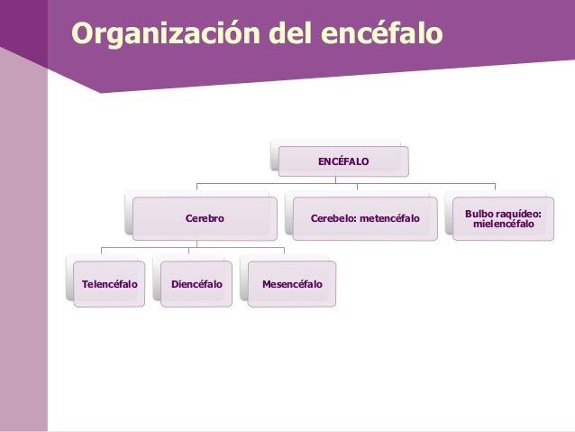 Organización del encéfaloENCÉFALOCerebroTelencéfalo Diencéfalo MesencéfaloCerebelo: metencéfaloBulbo raquídeo:mielencéfalo