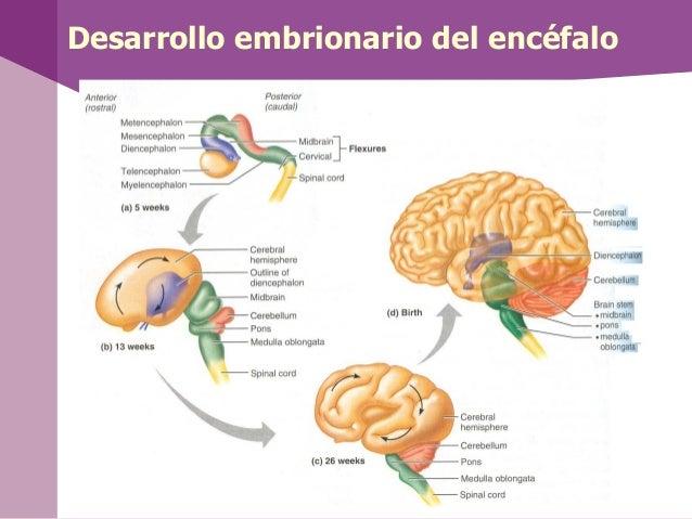 Desarrollo embrionario del encéfalo