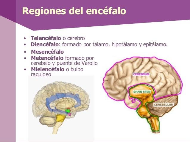 Regiones del encéfalo• Telencéfalo o cerebro• Diencéfalo: formado por tálamo, hipotálamo y epitálamo.• Mesencéfalo• Metenc...