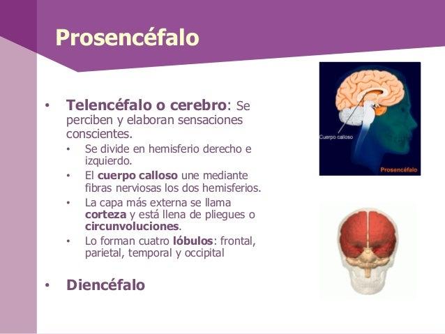 Prosencéfalo• Telencéfalo o cerebro: Seperciben y elaboran sensacionesconscientes.• Se divide en hemisferio derecho eizqui...