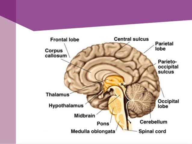 Corteza cerebral• Formada por sustancia gris, analiza e integrala información sensorial y elabora órdenesmotoras voluntari...