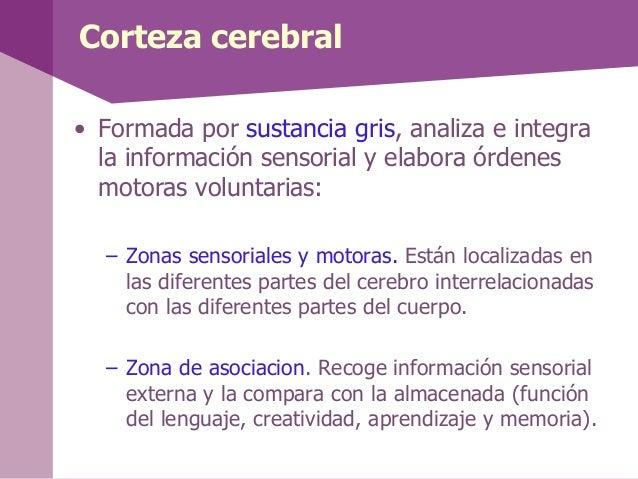 Hemisferios cerebrales• El hemisfero izquierdo o cerebrológico: el analítico y verbal. Procesainformación en fases lógicas...