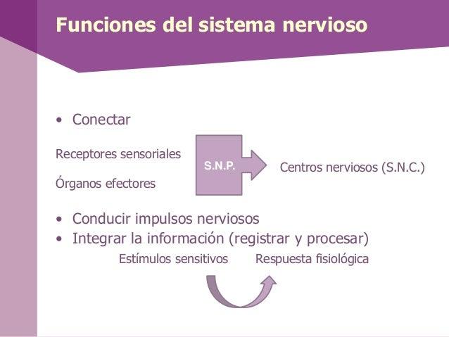 Funciones del sistema nervioso• ConectarReceptores sensorialesCentros nerviosos (S.N.C.)Órganos efectores• Conducir impuls...