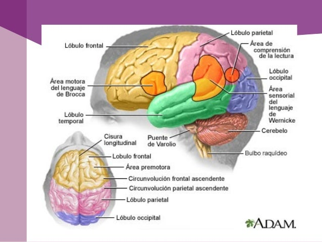 Homúnculo sensorial y motor