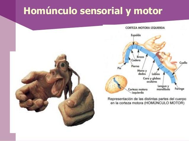 Ventrículos• Existen 4 cavidades en el encéfalollamadas ventrículos en las cualesse desarrolla el sistema ventricularque d...