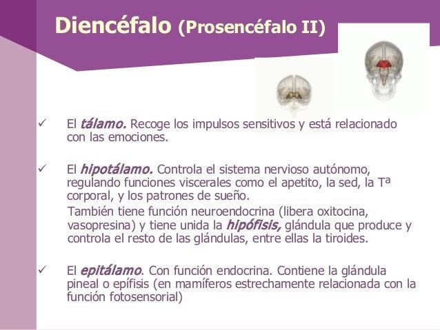 MesencéfaloEn el mesencéfalo se encuentra: El acueducto de Silvio lleva el líquidocefalorraquídeo desde el tercer al cuar...