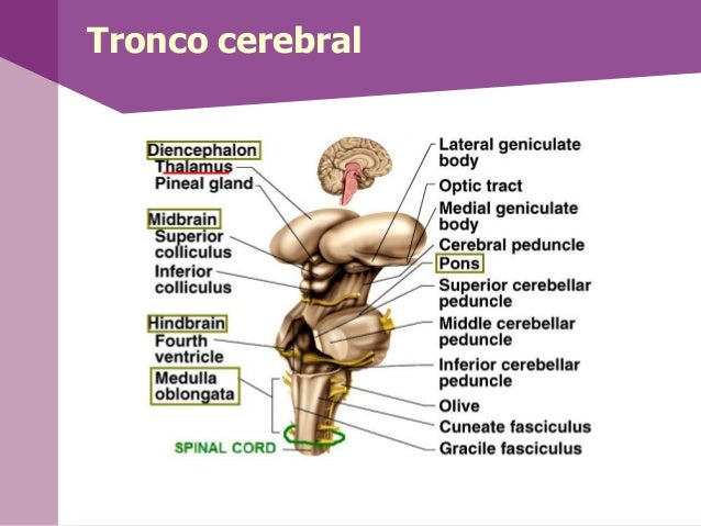 RomboencéfaloEl Rombencéfalo esuna expansión dela médula espinalformado por:1. El metencéfaloque forma elcerebelo y laprot...