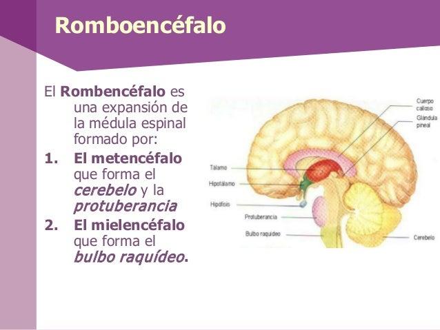 Protuberancia o Puente de Varolio• El Puente deVarolio es unaprotuberanciaque estáformada porfibras y conectalos hemisferi...
