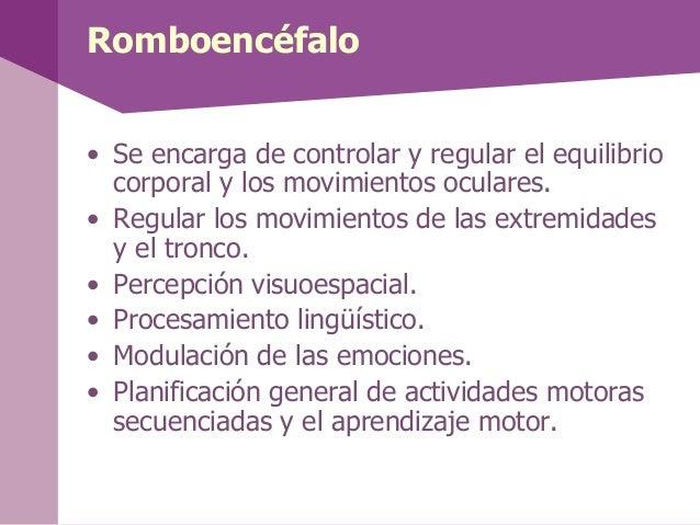 Bulbo raquídeo• El Bulbo raquídeo está situado entre lamédula espinal y el encéfalo se encarga decontrolar las funciones v...