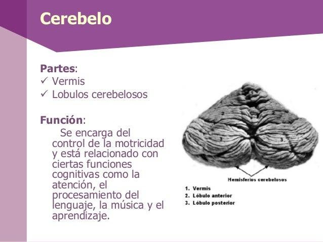 La médula espinal• La médula espinal formaparte del SNC y seencuentra dentro de lacolumna vertebral.• A la altura lumbar, ...