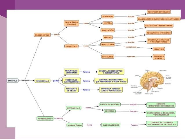 El sistema nervioso periférico o SNP, está formadopor nervios y neuronas que residen o se extiendenfuera del SNC, hacia lo...
