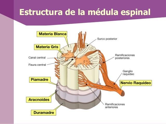Según el sentido del impulso, los nervios sedividen: Nervios sensitivos: Conducen impulsosdesde los receptores hasta los ...