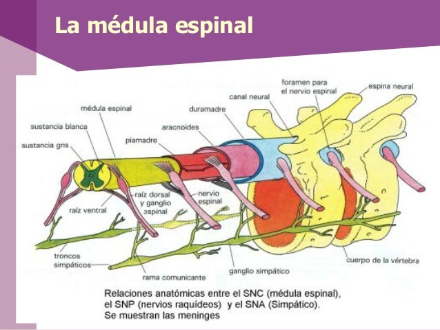• Nervio olfatorio (par craneal I)• Nervio óptico (par craneal II)• Nervio oculomotor (par craneal III) onervio motor ocul...