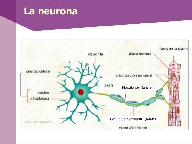 La neuronaCélula de SchwannNódulo de Ranvier(S.N.P.)