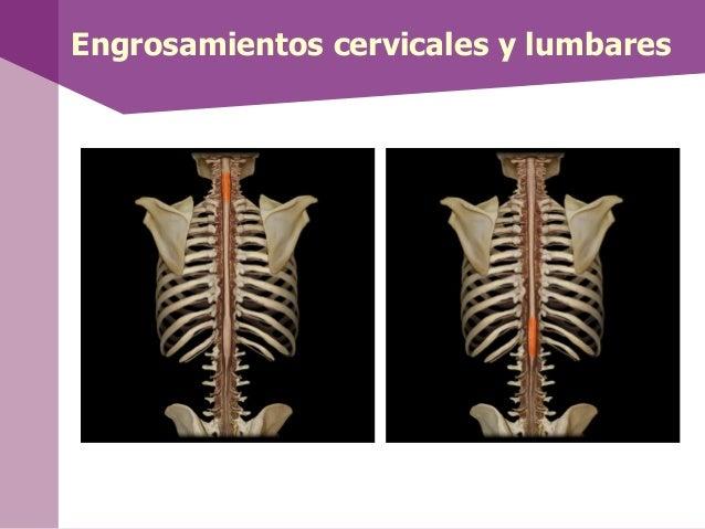 • Las vías aferentes delSNA están formadas porneuronas sensorialesviscerales.• Las vías eferentes estánformadas por dos ne...