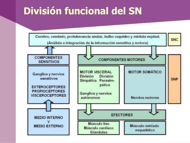 Funcionamiento del SN• La recogida de información, transmisión, elaboraciónde la respuesta y su conducción al órgano efect...