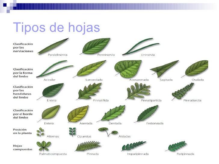 Tema 11 la nutricion de las plantas for Hojas ornamentales con sus nombres