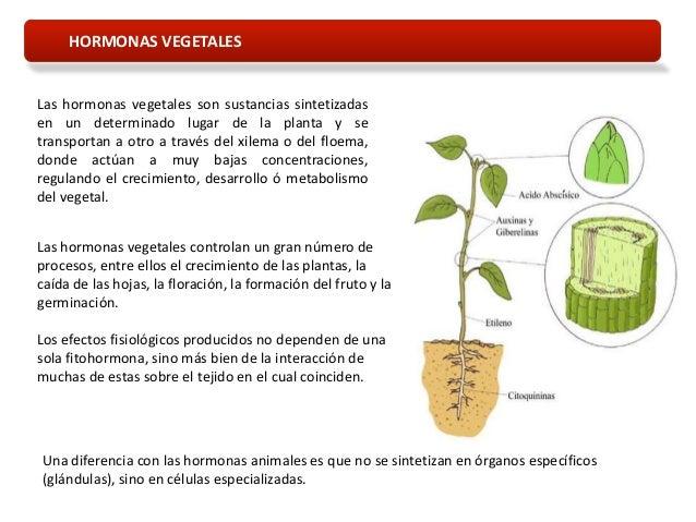 Tema 12 hormonas vegetales for Hormonas en las plantas