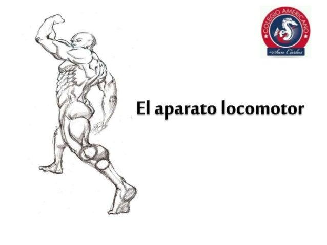 El aparato locomotor. sistema muscular. los músculos sistema esquelético. Sus principales funciones son: Sostener el cuerp...