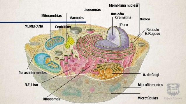 Estructura Celular Céula Animal Y Vegetal