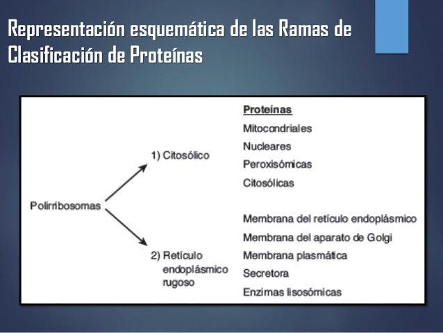 TRAFICO Y DISTRIBUCIÓN INTRACELULARES DE PROTEÍNAS  Slide 3