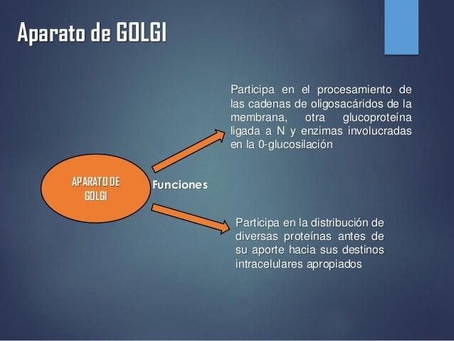 Aparato de GOLGI APARATO DE GOLGI Funciones Participa en el procesamiento de las cadenas de oligosacáridos de la membrana,...
