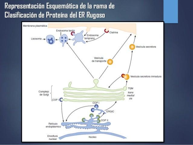 Representación Esquemática de la rama de Clasificación de Proteína del ER Rugoso