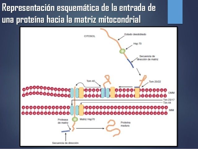 Representación esquemática de la entrada de una proteína hacia la matriz mitocondrial