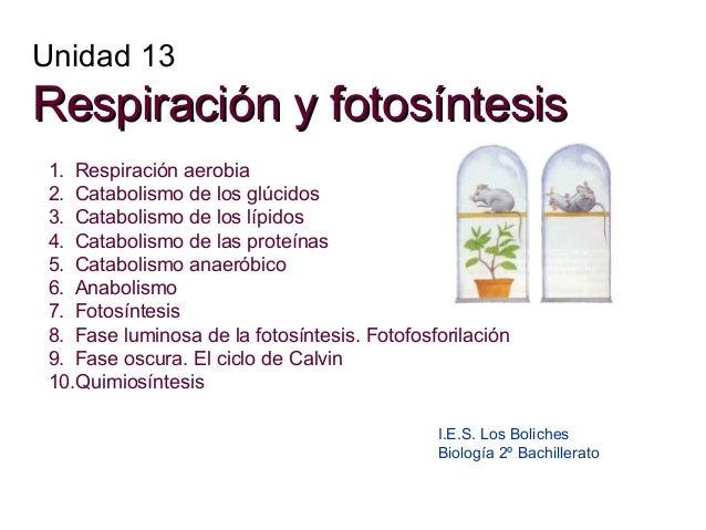 Unidad 13  Respiración y fotosíntesis 1. Respiración aerobia 2. Catabolismo de los glúcidos 3. Catabolismo de los lípidos ...